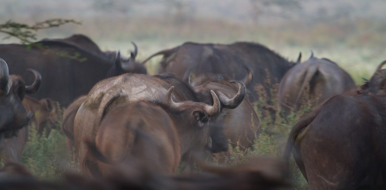 water-buffalo-279976_1280