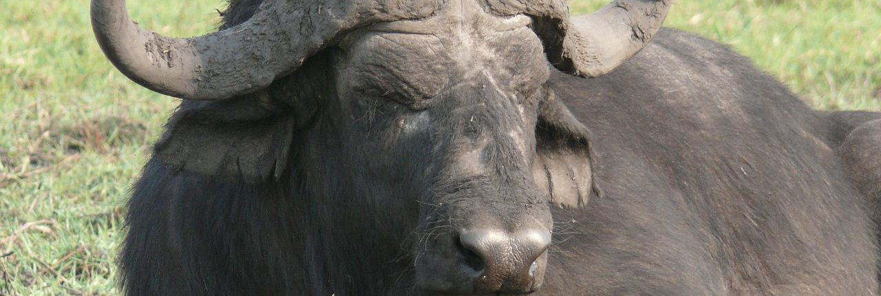 water-buffalo-334452_1280
