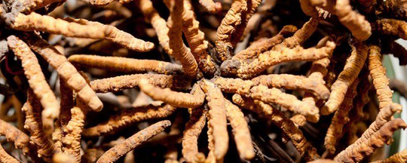 Raupenpilz-Extrakt-BIO-Cordyceps-sinensis-BIO-Pilzextraktkapseln-60-Stk_b2