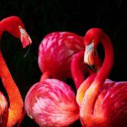 flamingo-676954_1280