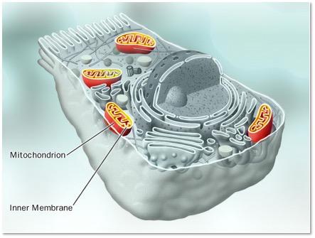 Mitochondrium:Zelle