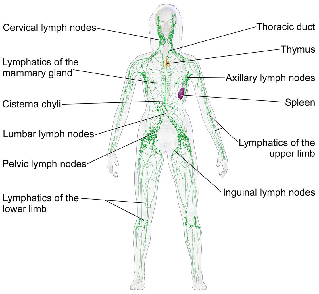 Nett Lymphbahnen Bilder - Anatomie Und Physiologie Knochen Bilder ...